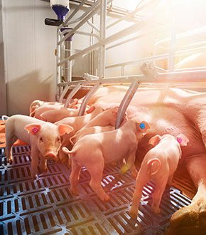 Farrowing Feeding