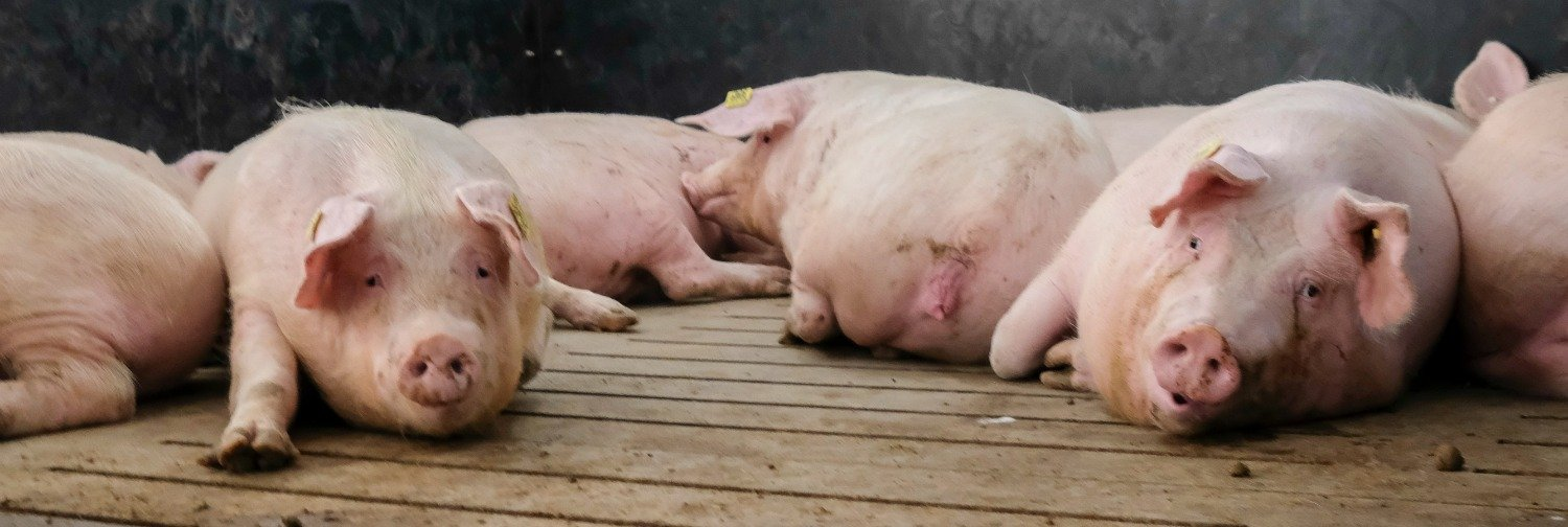 One-third of sows are not in optimal condition