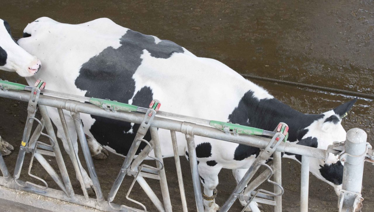 Nedap customer Matthijs Meijer his cow