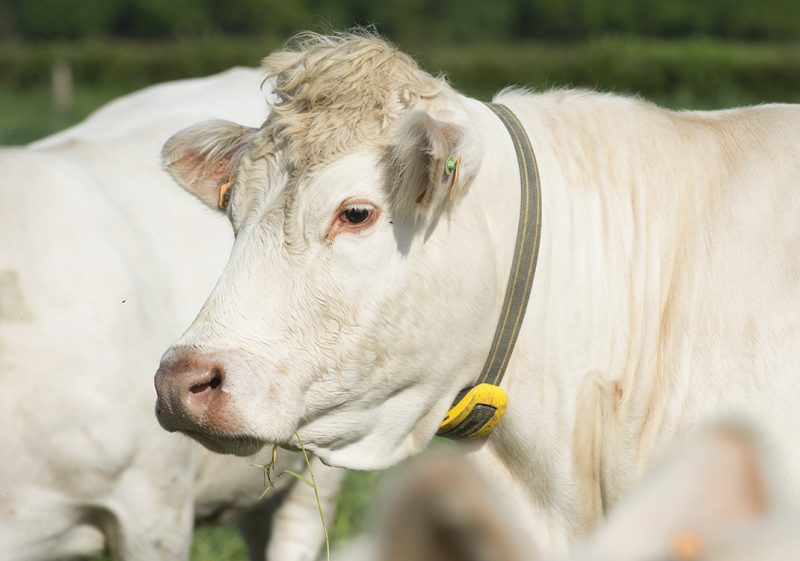 Cow with Nedap Smarttag Neck