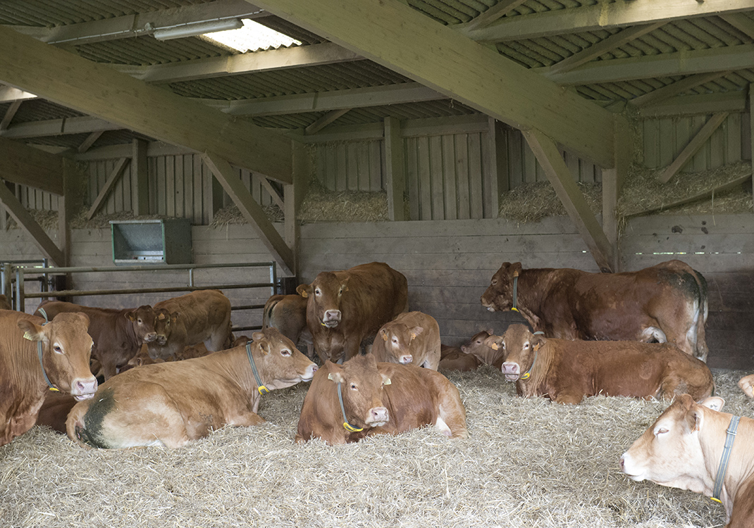 Cows with Nedap Smarttag Neck