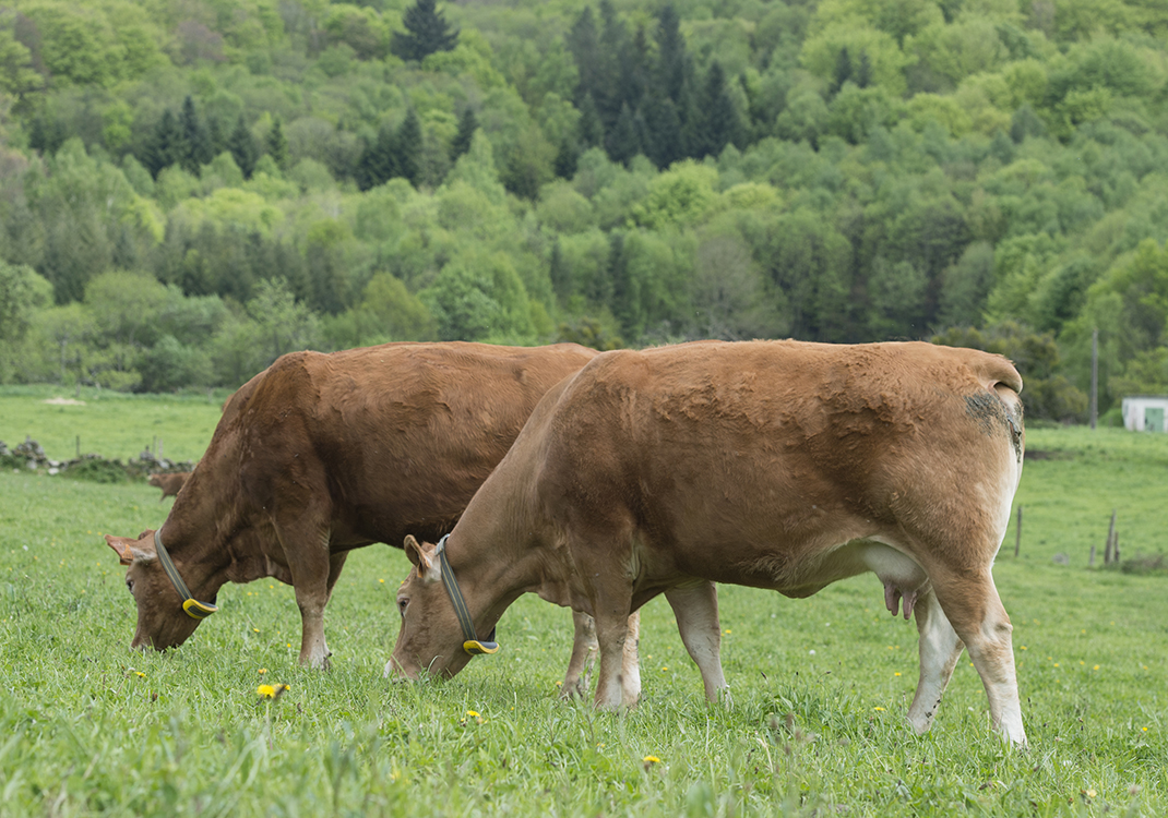 Cows with Nedap Smarttag Neck- Jean-Michel Ravet