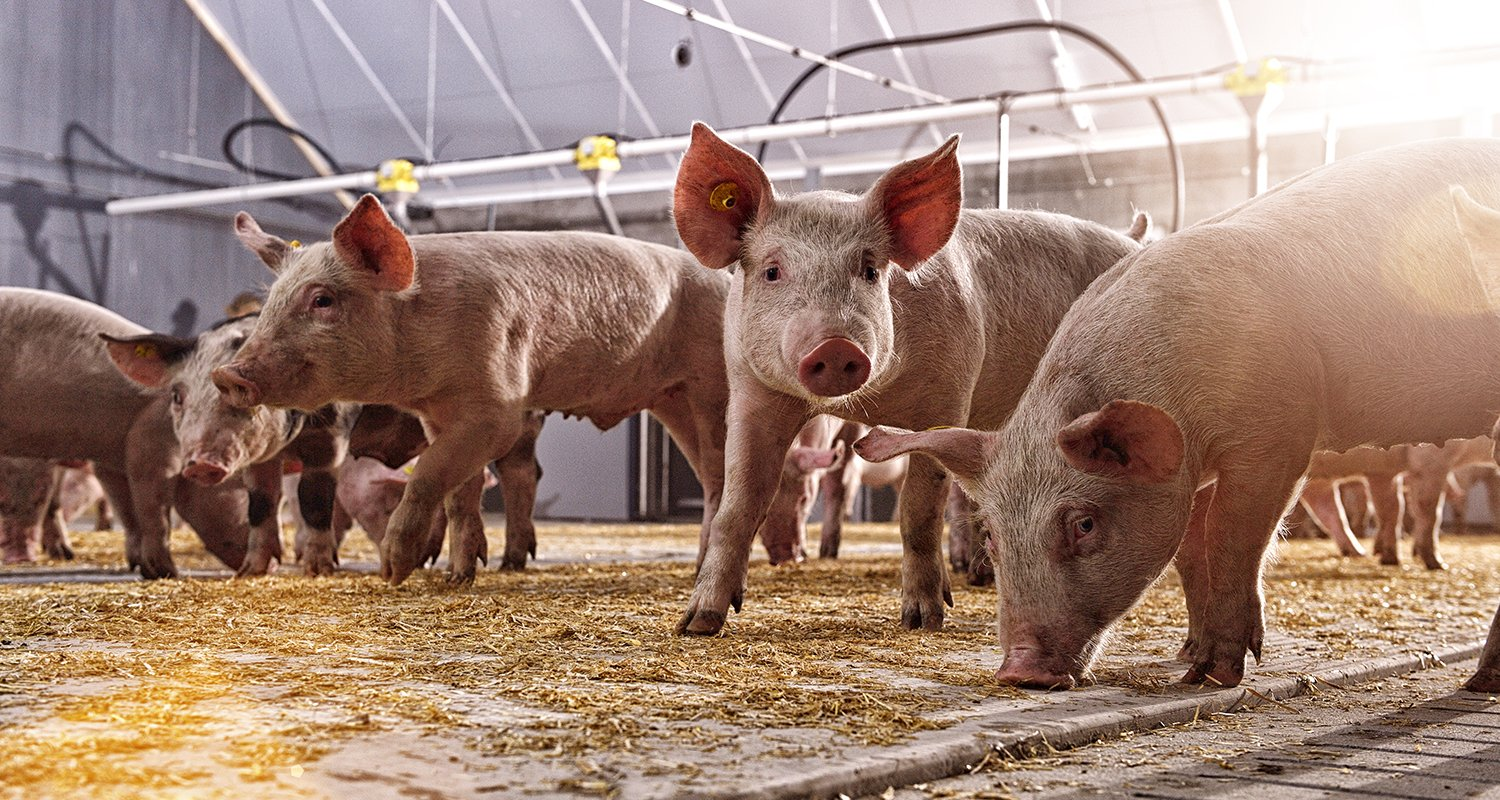 Pigs with the Nedap Ear Tag