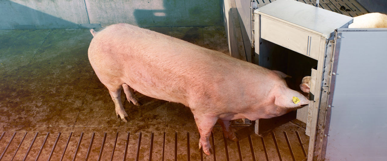 Automated Sow Heat Detection